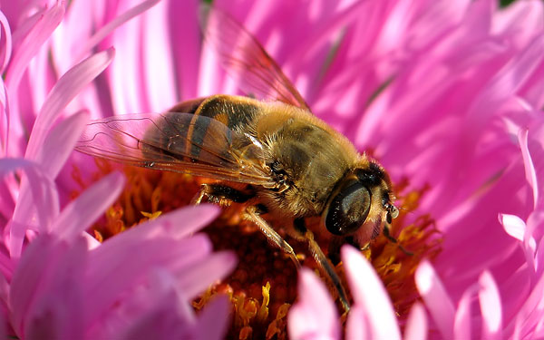 картинка на рабочий стол пчела в цветке 1680x1050