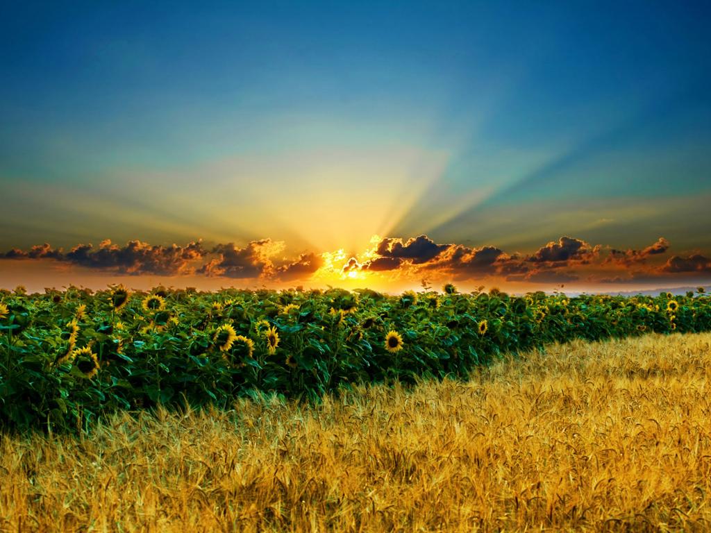поле, подсолнухи, рожь, закат