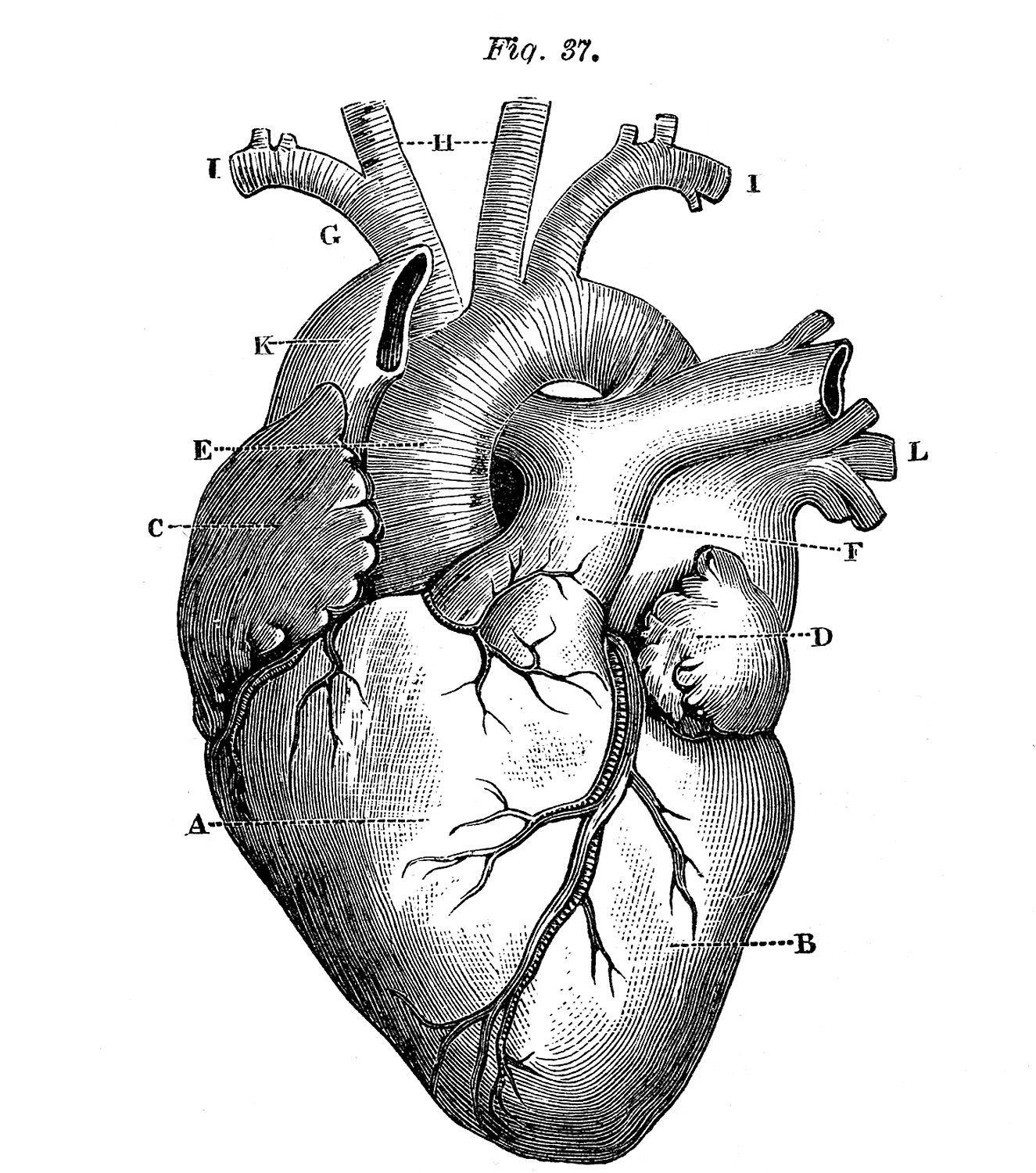 A Heart Vintage Drawing Of A Book On Anatomy 1884 Of The Year