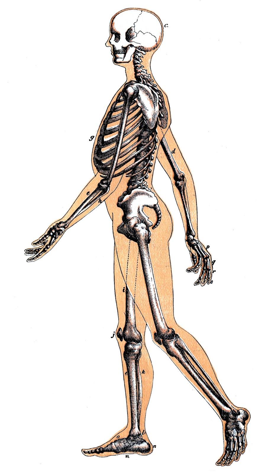 профиль скелета (анатомия)