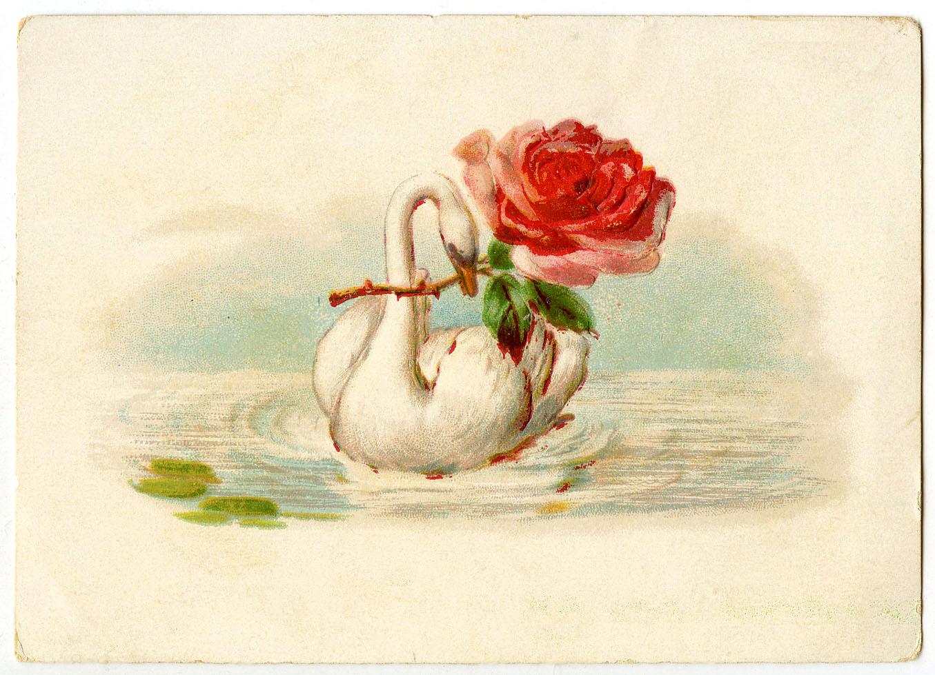 белый лебедь и краснаяроза