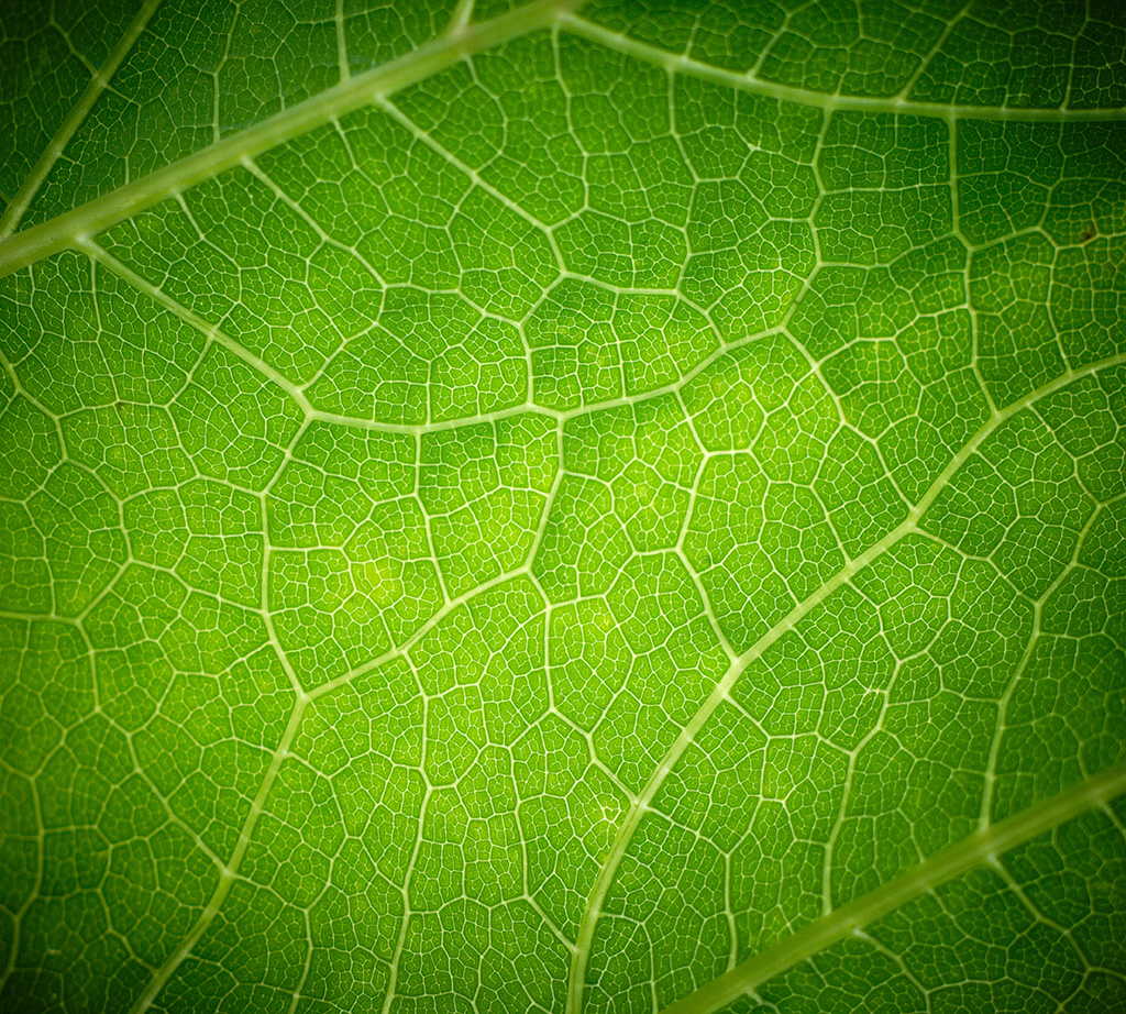 Зеленый лист на просвет
