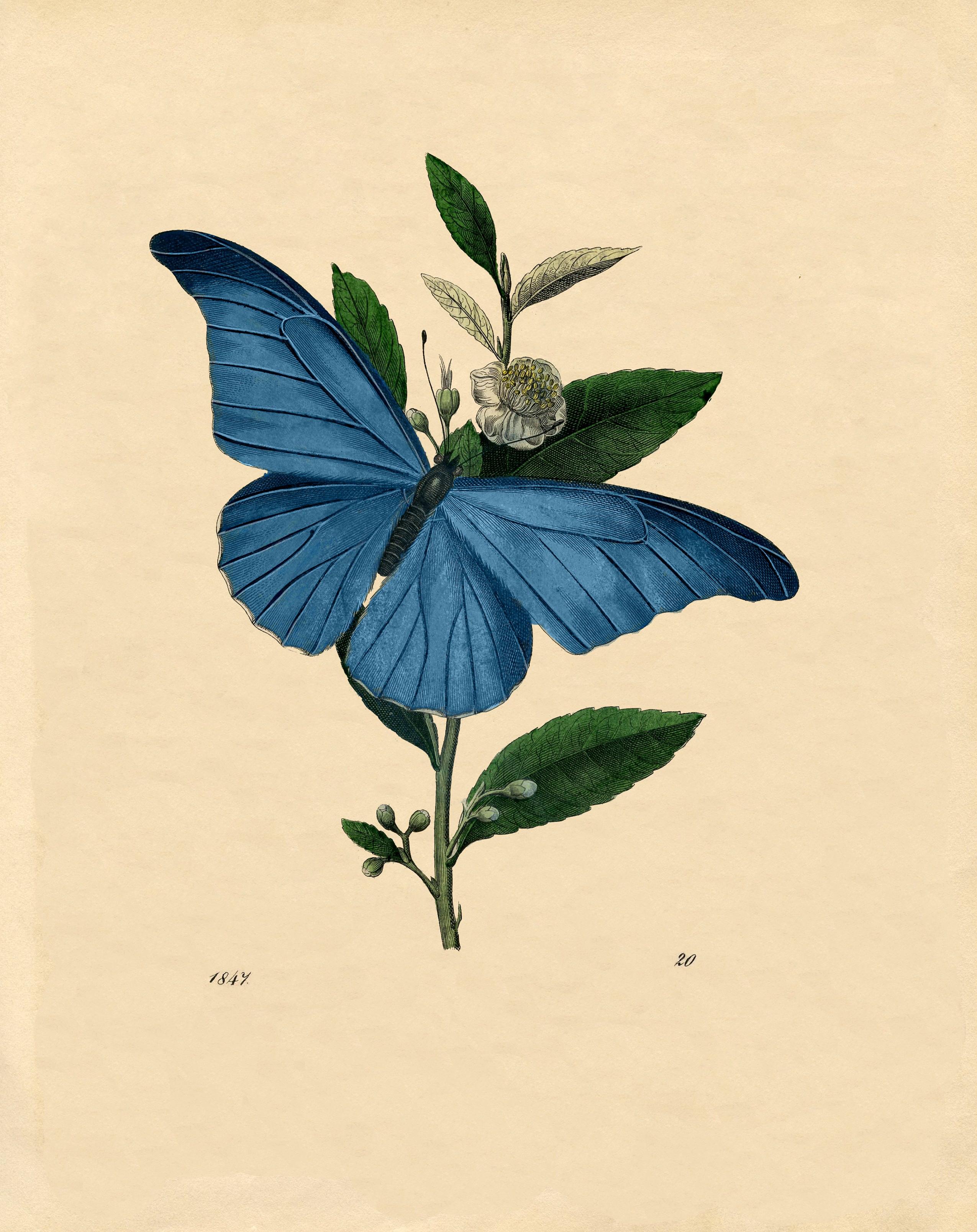 Голубая бабочка - винтажный рисунок