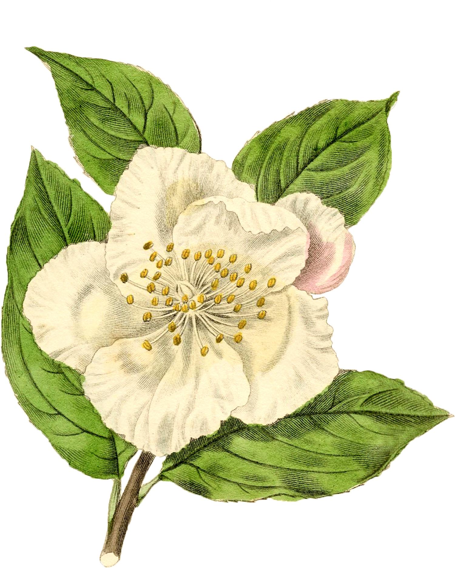 белый цветок шиповника