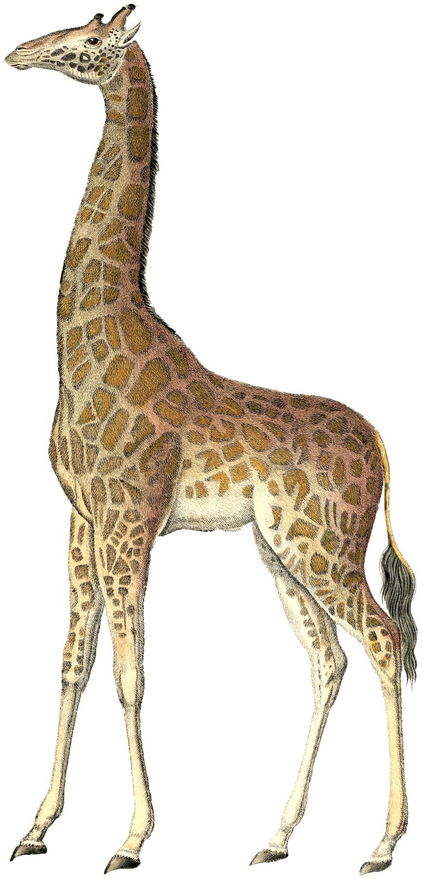 Жираф Giraffe