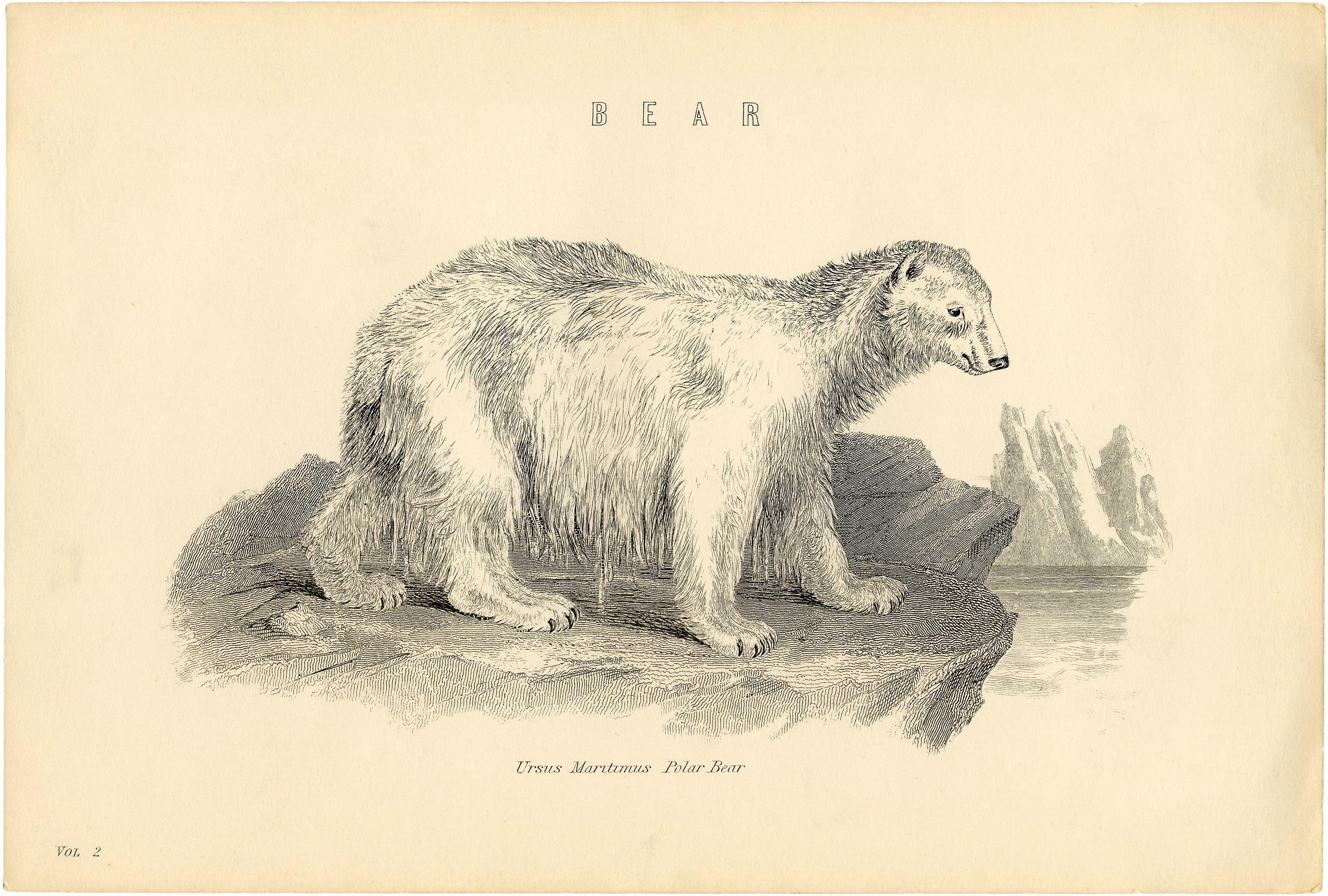 """""""Белый медведь"""" - винтажный черно-белый рисунок из старой книги"""