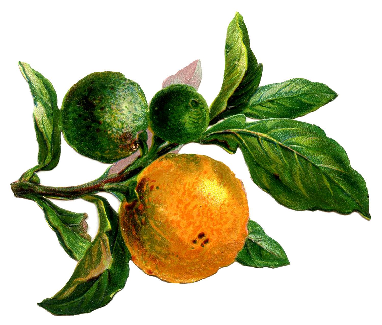 Апельсины на ветке - винтажный рисунок