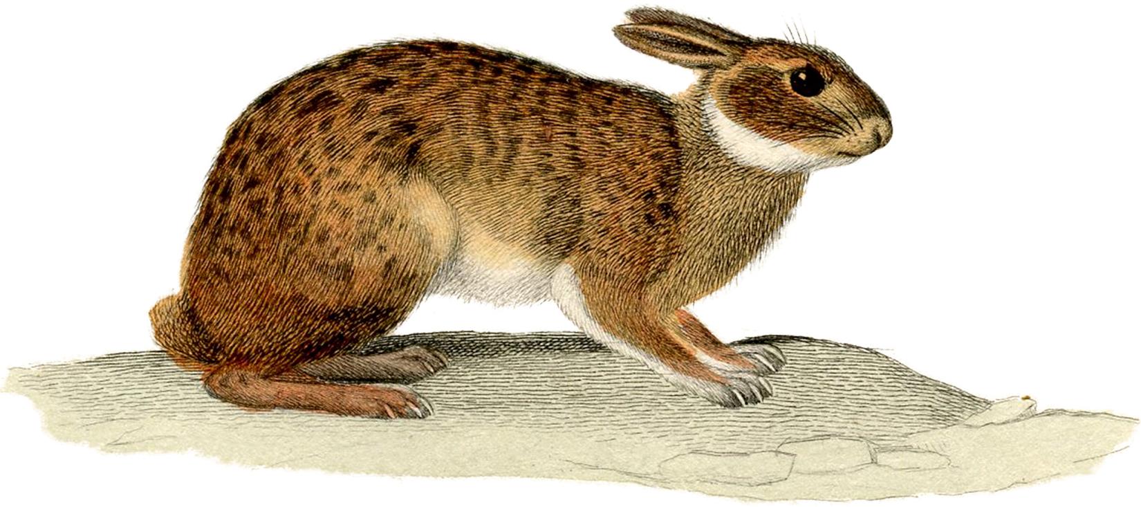 """Старый рисунок (изображение) """"заяц"""""""