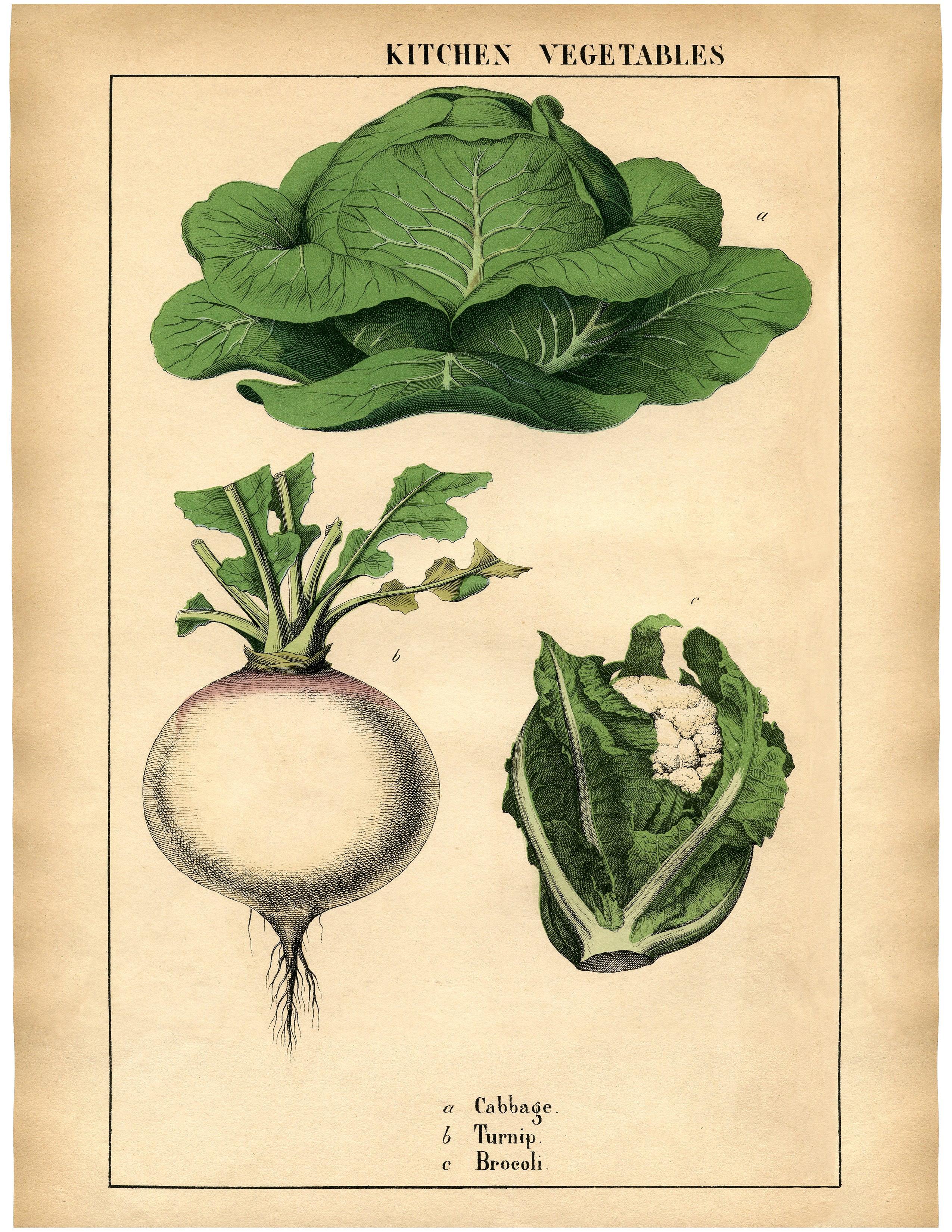 Капуста, репа, брокколи - винтажный рисунок с изображением овощей