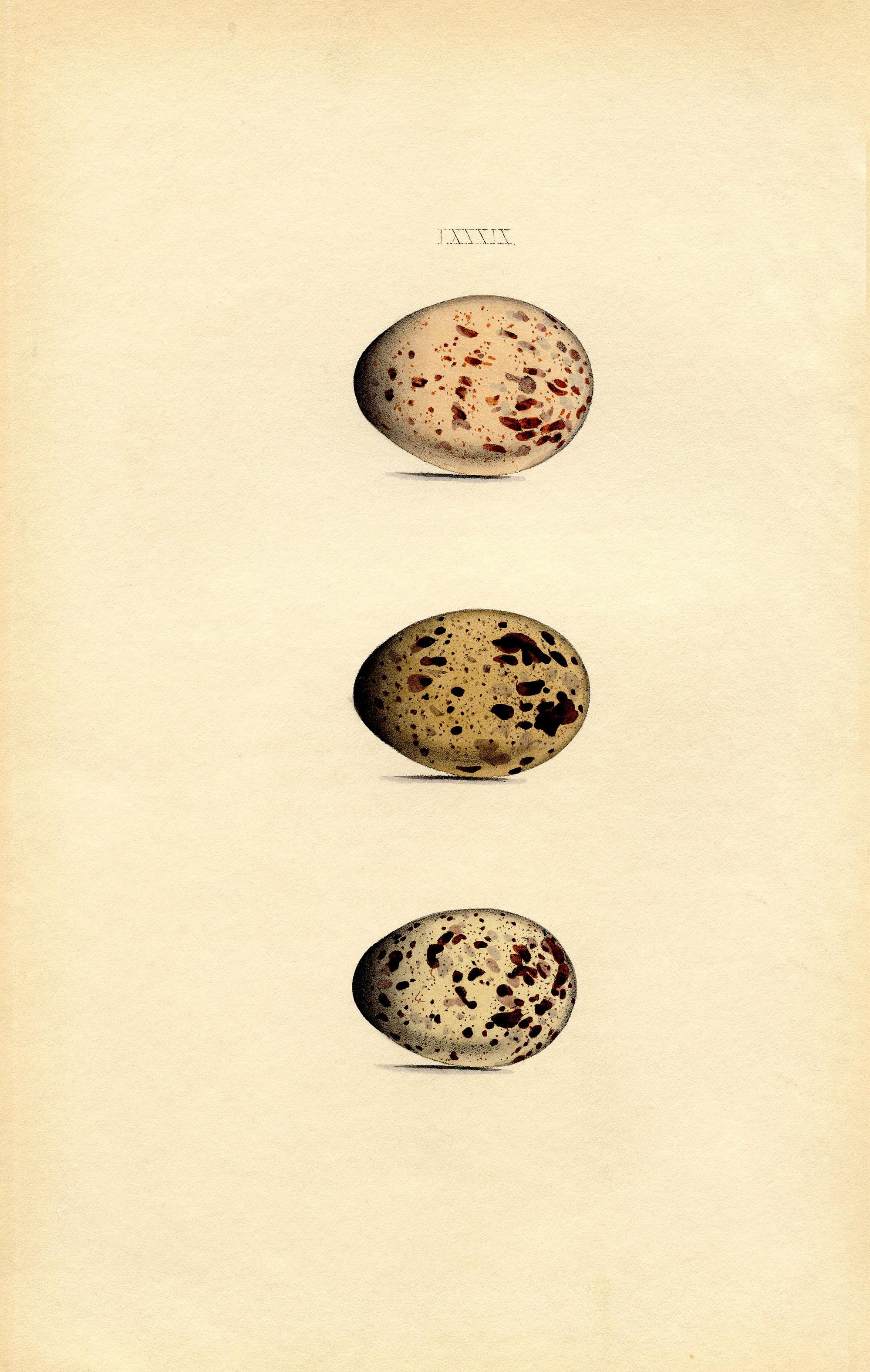Коричневые яйца (похоже на яйца куропатки) - рисунок конца XIX века