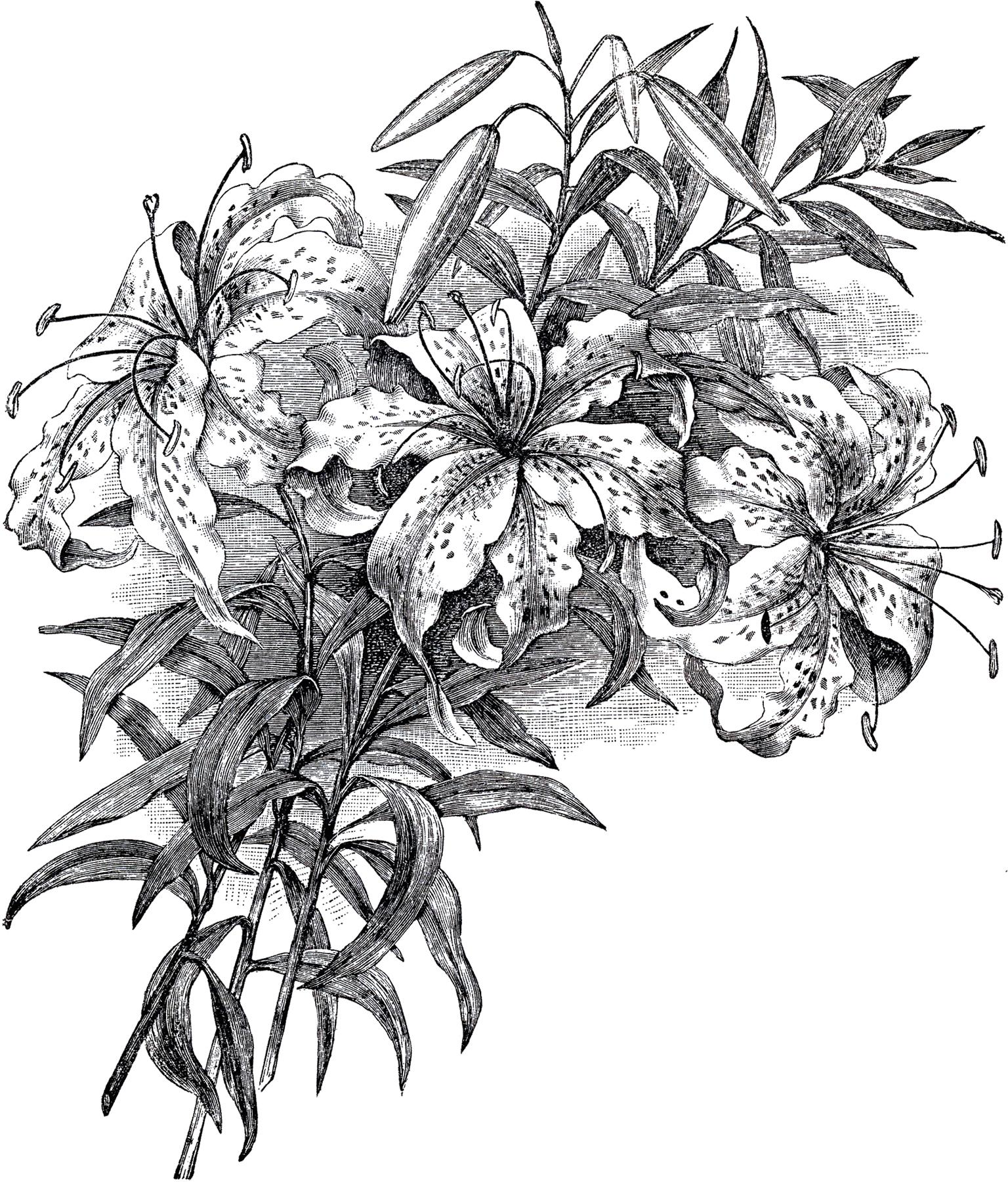 Лилия - чёрно-белый рисунок