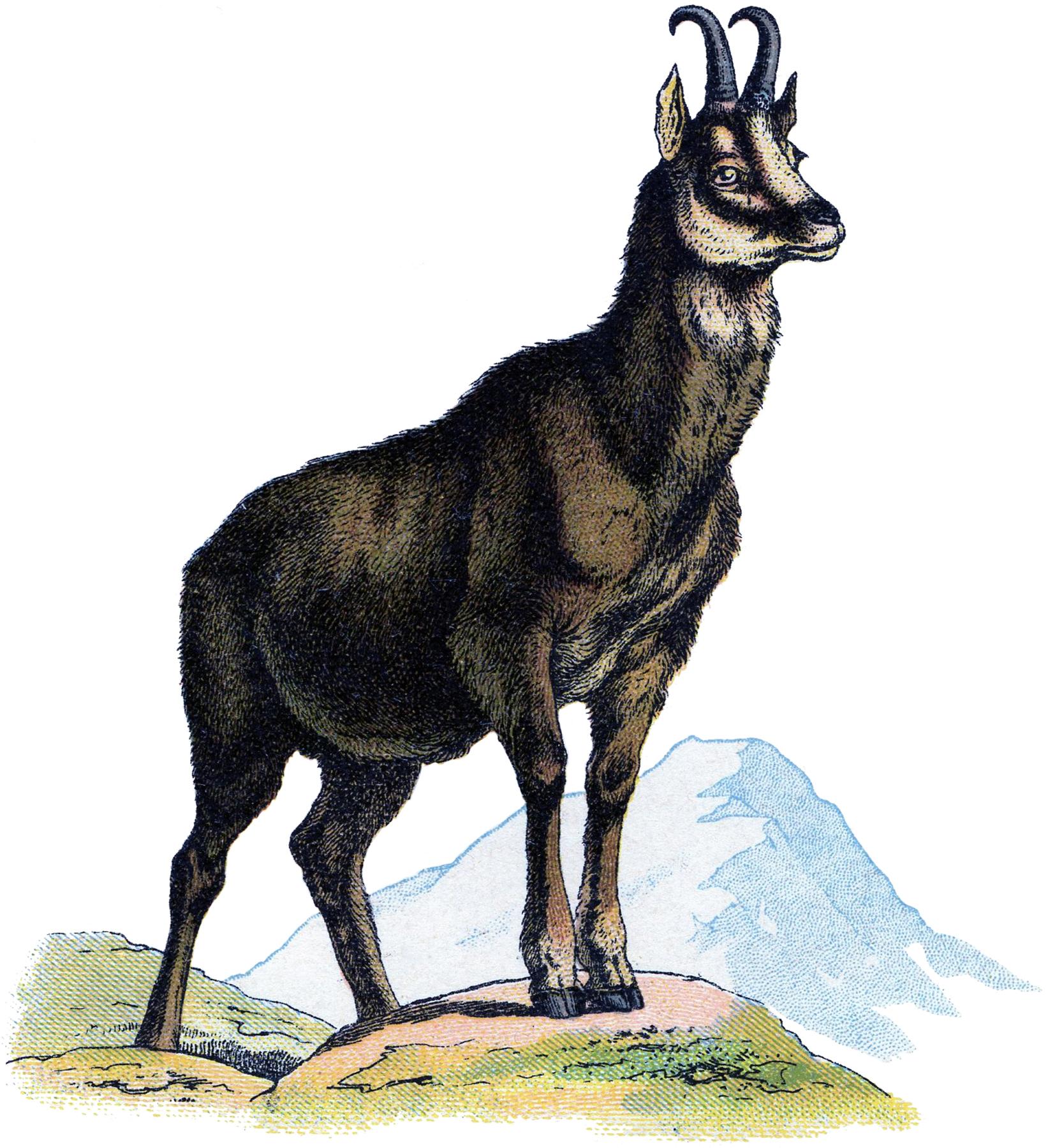 Горный козёл - рисунок