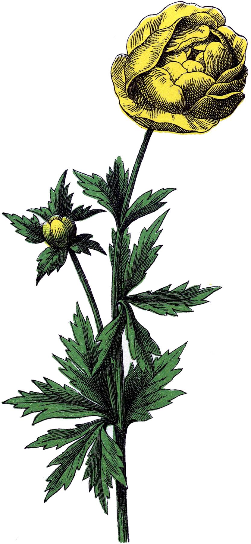 Купальница - жёлтый цветок