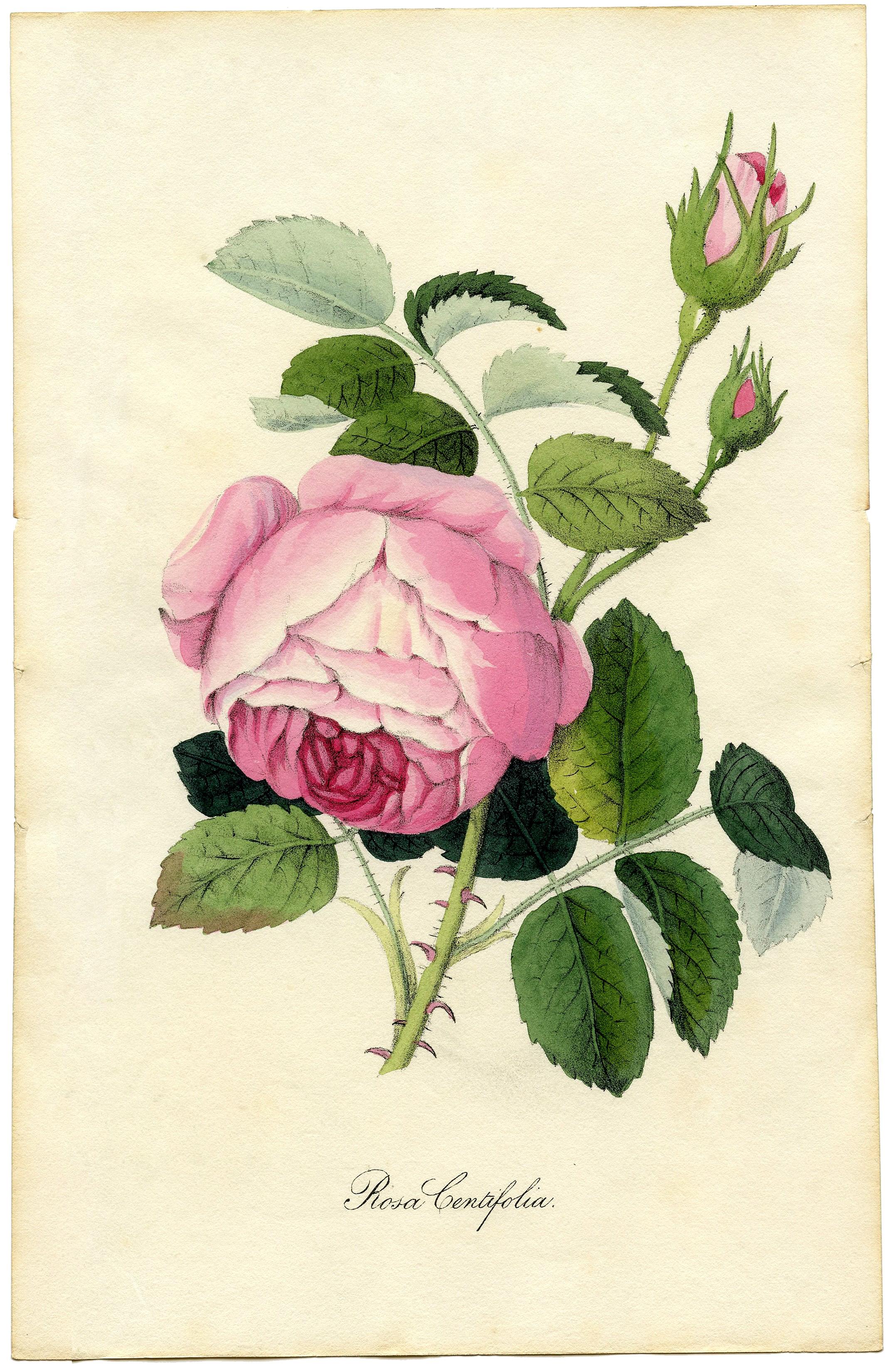 Рисунок с изображением розы centifoliya