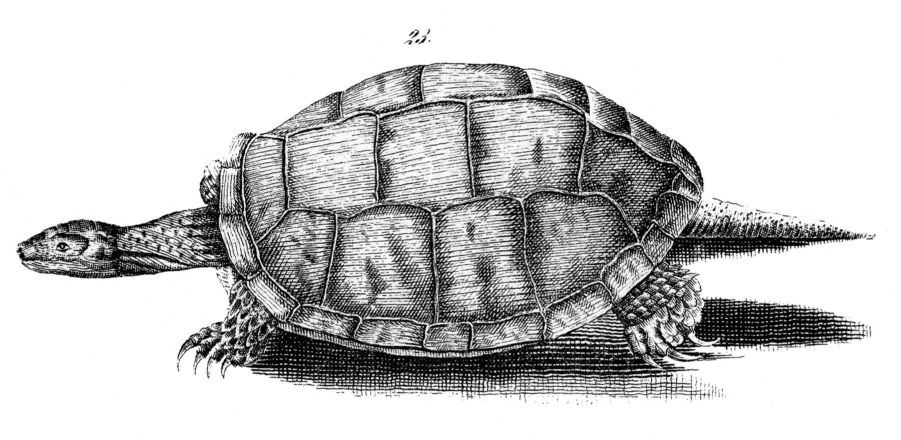 Черепаха - винтажный черно-белый рисунок