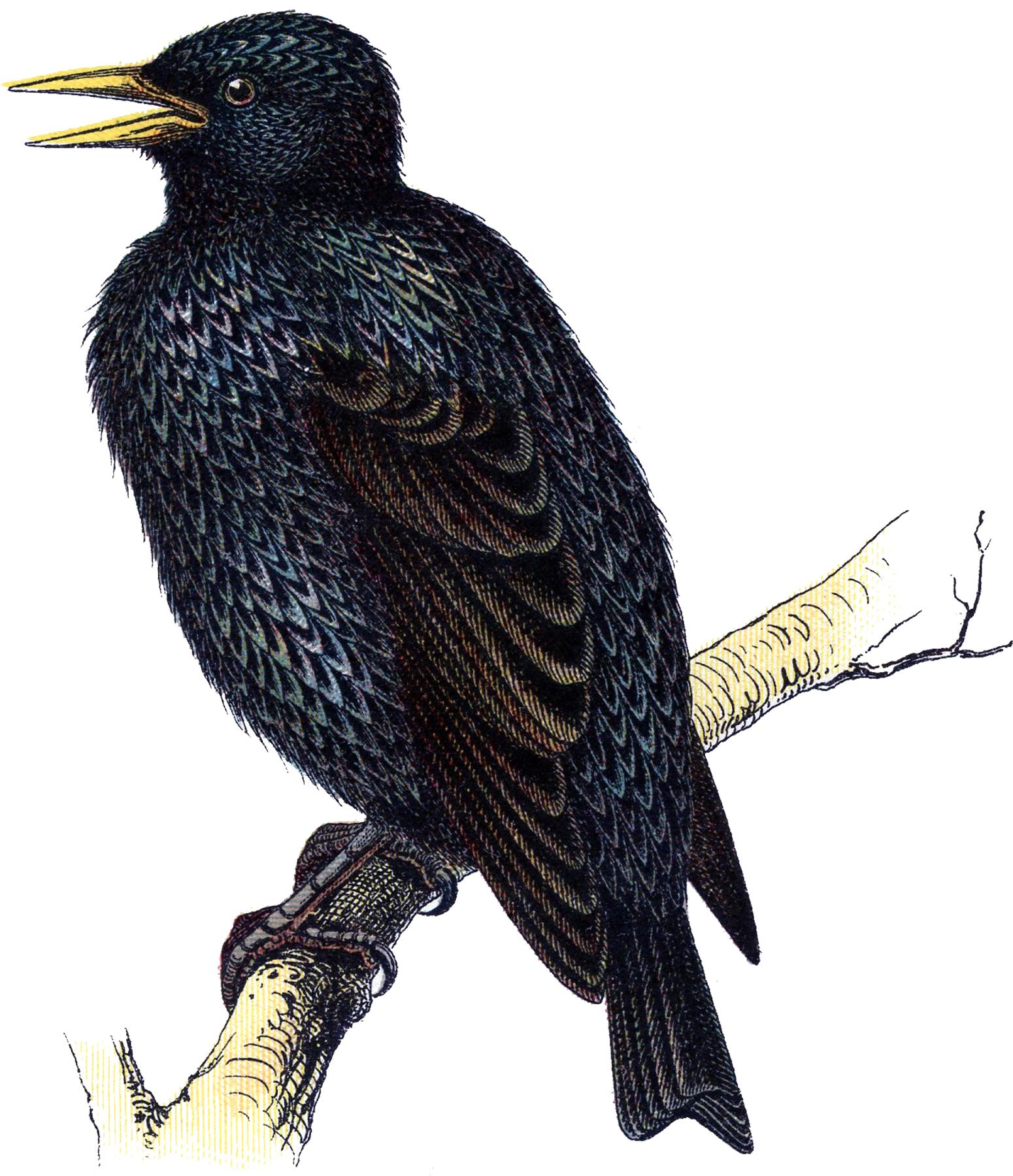 Винтажное изображение темной птицы