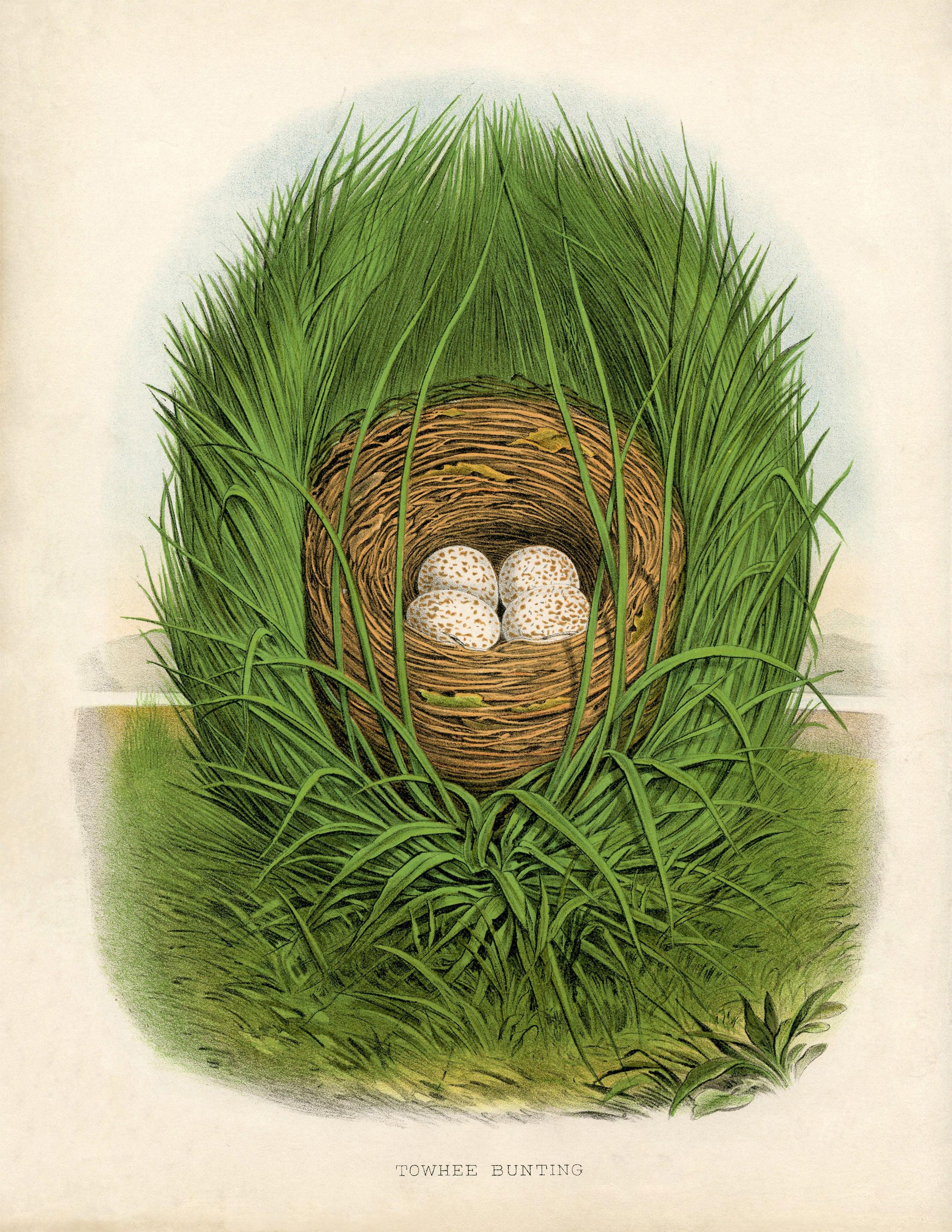 Гнездо птицы towhee bunting (овсянка) - винтажный рисунок