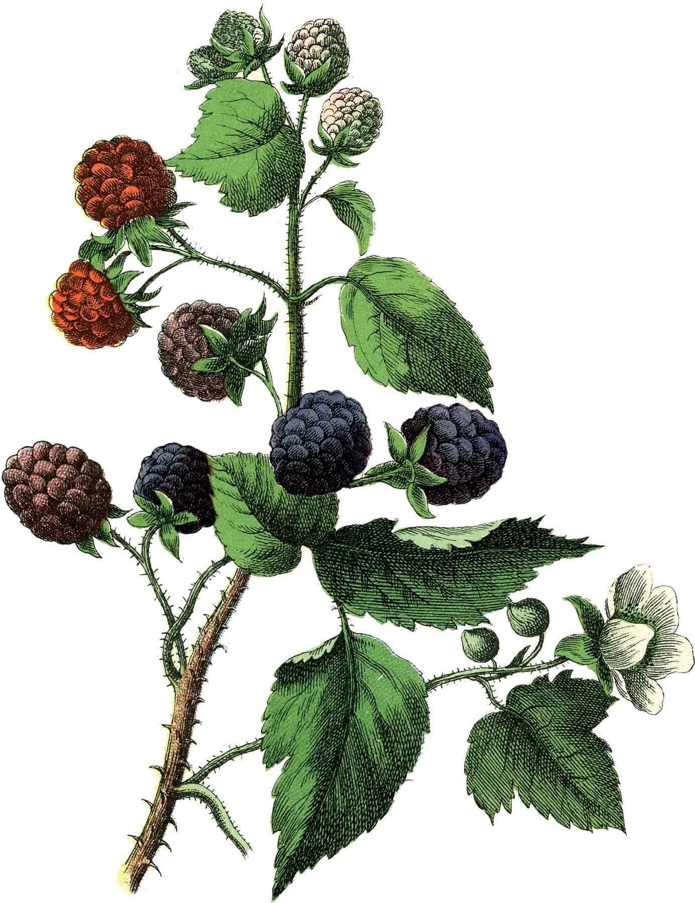 Ежевика - ягоды и цветы - винтажный рисунок