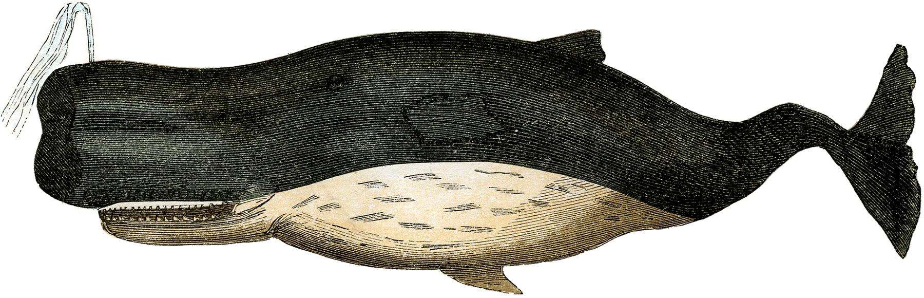 Винтажно изображение (рисунок) кита (кашалота)
